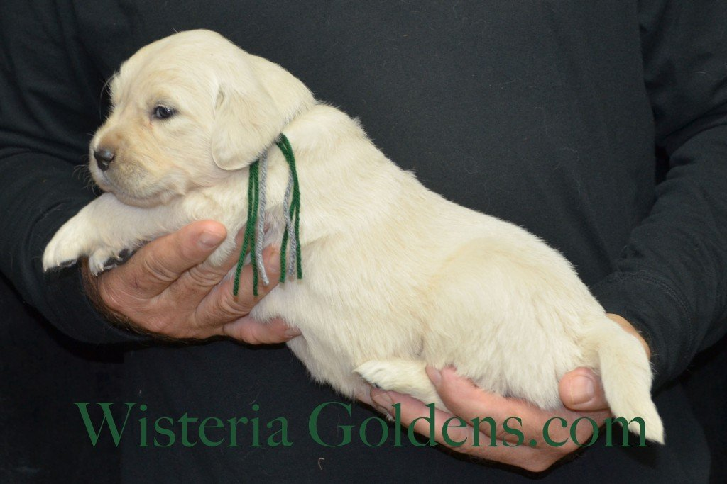 Halo Litter Green Boy - 4.6 lbs Halo-Ego Litter Born 10/26/2015 3 girls and 8 boys 3 Weeks Pictures WisteriaGoldens.com English Cream Golden Retriever puppies and their availability