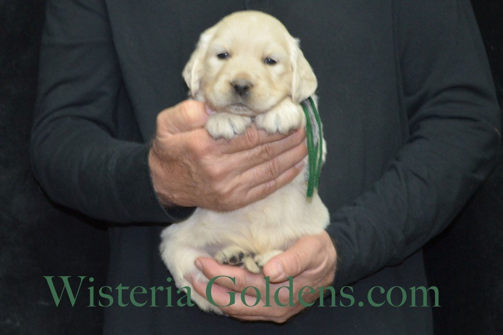 Halo Litter Green Boy - 5.8 lbs - 4 Weeks pictures Halo-Ego Litter born 10/26/2015 English Cream Golden Retriever Puppies for sale at WisteriaGoldens.Com
