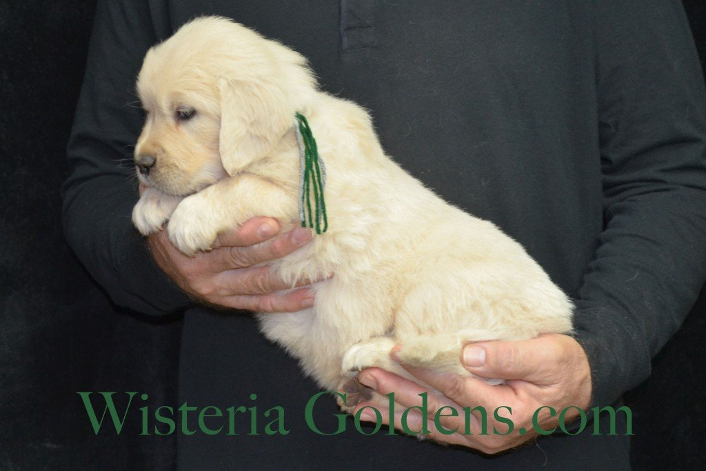 Halo LItter Green Boy - 7.6 lbs 5 Week pictures Halo/Ego Litter born 10/26/2015 3 girls and 8 boys English Cream Golden Retriever Puppies for sale at WisteriaGoldens.Com