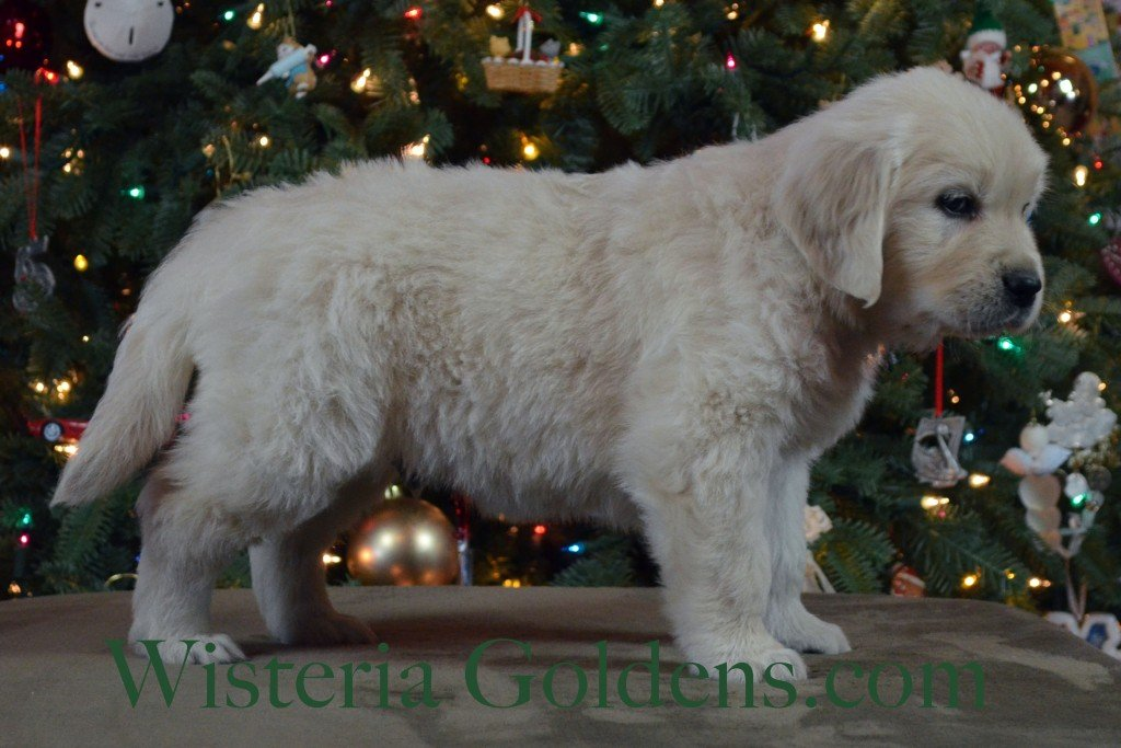 Halo Litter Green Boy is very outgoing, friendly, and playful. Highly affectionate and loves to be with you — a lap puppy. He is fussy in the crate, but will settle. He weighs: 9.0 lbs Halo/Ego Litter born 10/26/2015 6 weeks pictures english cream golden retriever puppies for sale at wisteriagoldens.com/available-puppies Generally, these puppies are affectionate and easy going — more on the mid to lower energy range like their mom. They are definitely playful puppies, but gentle, affectionate, and sweet in spirit.