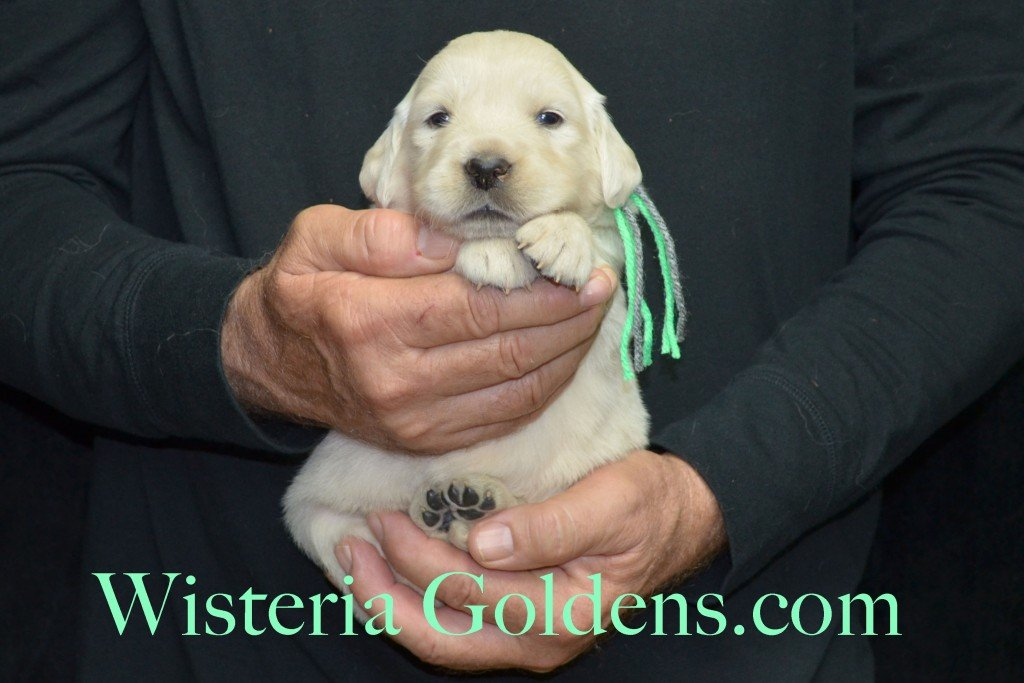 Halo Litter Lime Girl - 4.0 lbs Halo-Ego Litter Born 10/26/2015 3 girls and 8 boys 3 Weeks Pictures WisteriaGoldens.com English Cream Golden Retriever puppies and their availability