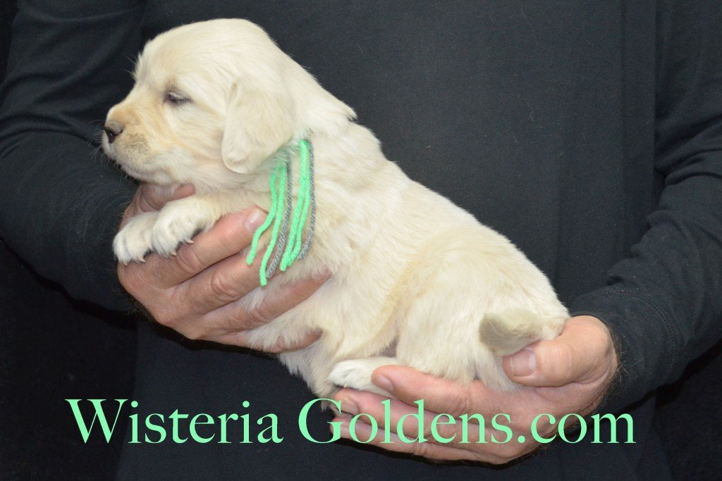 Halo Litter Lime Girl - 5.4 lbs - 4 Weeks pictures Halo-Ego Litter born 10/26/2015 English Cream Golden Retriever Puppies for sale at WisteriaGoldens.Com