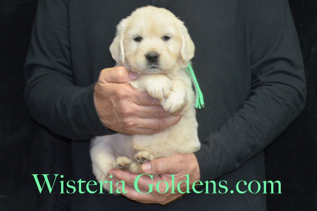 Halo LItter Lime Girl - 6.8 lbs 5 Week pictures Halo/Ego Litter born 10/26/2015 3 girls and 8 boys English Cream Golden Retriever Puppies for sale at WisteriaGoldens.Com