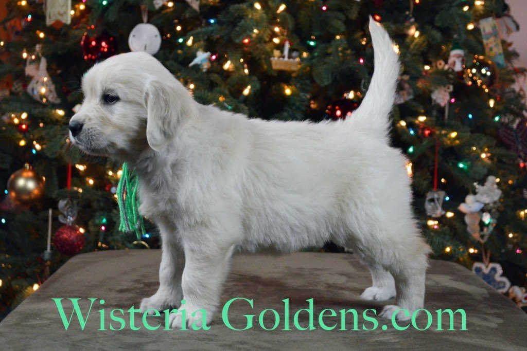 SOLD - Halo Litter Lime Girl is the most outgoing, playful of the things, but not over the top energy. She is affectionate, playful, and hasn't met a toy she doesn't like. She does not enjoy the crate at this point, but does settle after a bit. She weighs: 7.6 lbs