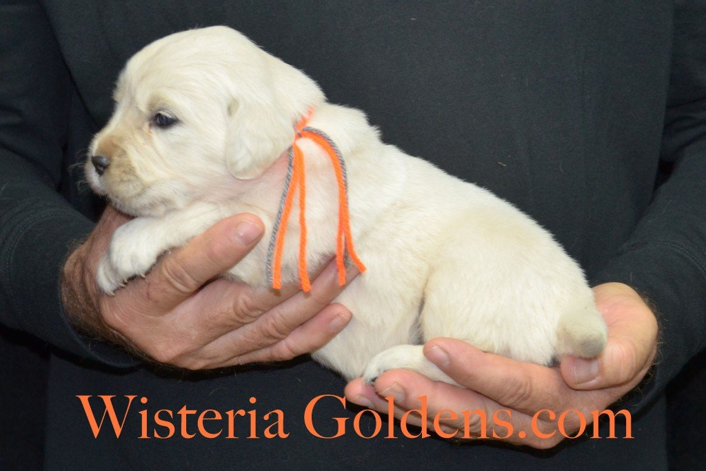 Halo Litter Orange Boy - 3.8 lbs Halo-Ego Litter Born 10/26/2015 3 girls and 8 boys 3 Weeks Pictures WisteriaGoldens.com English Cream Golden Retriever puppies and their availability