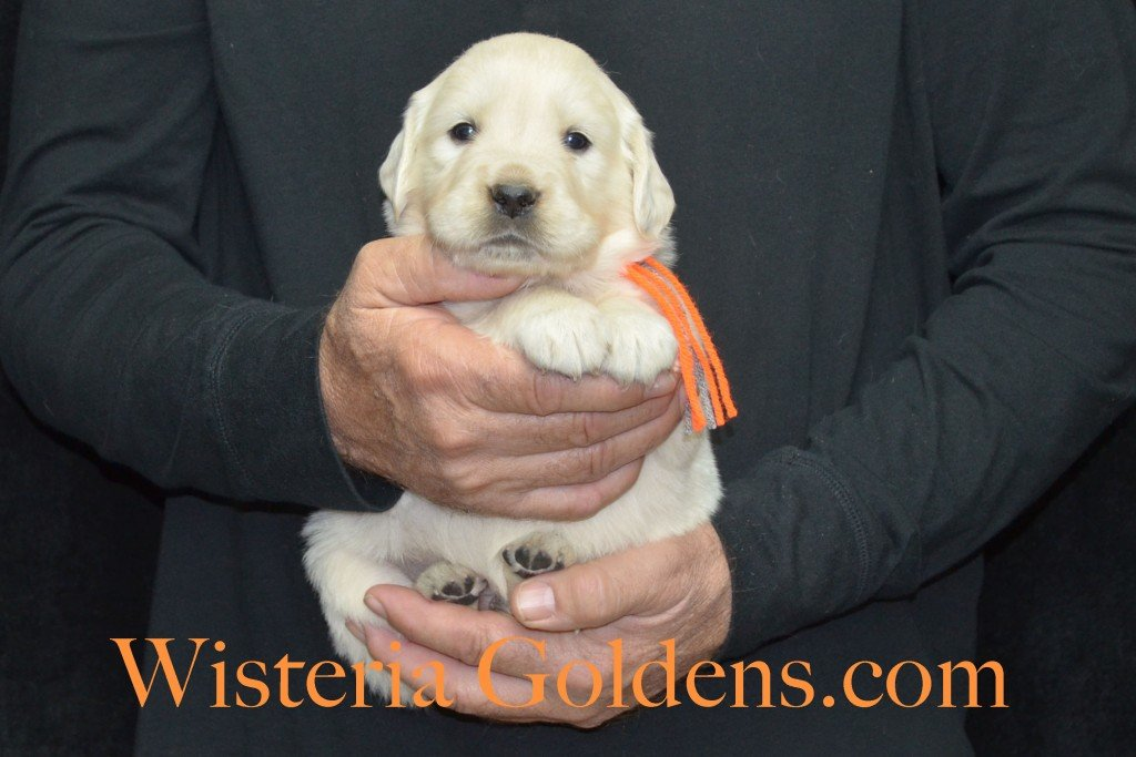 Halo Litter Orange Boy - 4.8 lbs - 4 Weeks pictures Halo-Ego Litter born 10/26/2015 English Cream Golden Retriever Puppies for sale at WisteriaGoldens.Com
