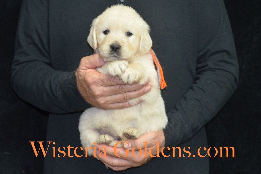 Halo LItter Orange Boy - 6.6 lbs 5 Week pictures Halo/Ego Litter born 10/26/2015 3 girls and 8 boys English Cream Golden Retriever Puppies for sale at WisteriaGoldens.Com