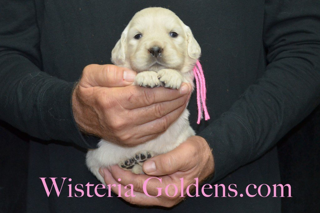 Halo Litter Pink Girl - 3.8 lbs Halo-Ego Litter Born 10/26/2015 3 girls and 8 boys 3 Weeks Pictures WisteriaGoldens.com English Cream Golden Retriever puppies and their availability