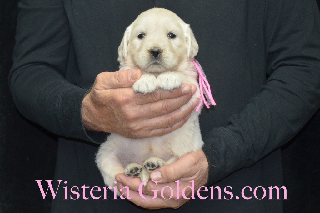 Halo Litter Pink Girl - 4.8 lbs - 4 Weeks pictures Halo-Ego Litter born 10/26/2015 English Cream Golden Retriever Puppies for sale at WisteriaGoldens.Com