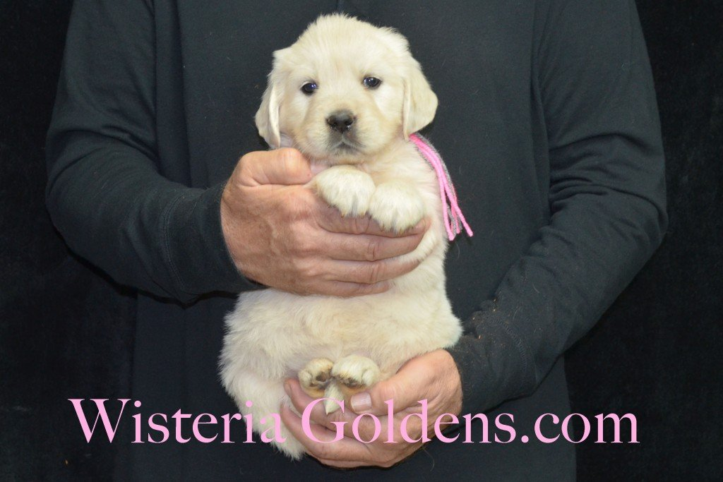 Halo LItter Pink Girl - 7.0 lbs 5 Week pictures Halo/Ego Litter born 10/26/2015 3 girls and 8 boys English Cream Golden Retriever Puppies for sale at WisteriaGoldens.Com
