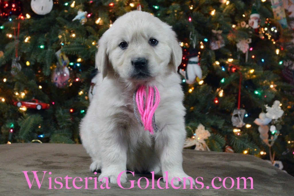 SOLD - Halo Litter Pink Girl is an outgoing, playful, affectionate, people-oriented girl. She is one of the first to come running, loves to be with you, and loves playing with her toys. She is doing well in the crate with little to no fuss. She weighs: 8.2 lbs