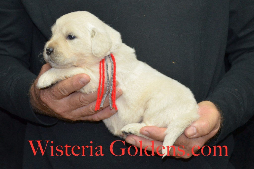 Halo Litter Red Boy - 3.6 lbs Halo-Ego Litter Born 10/26/2015 3 girls and 8 boys 3 Weeks Pictures WisteriaGoldens.com English Cream Golden Retriever puppies and their availability