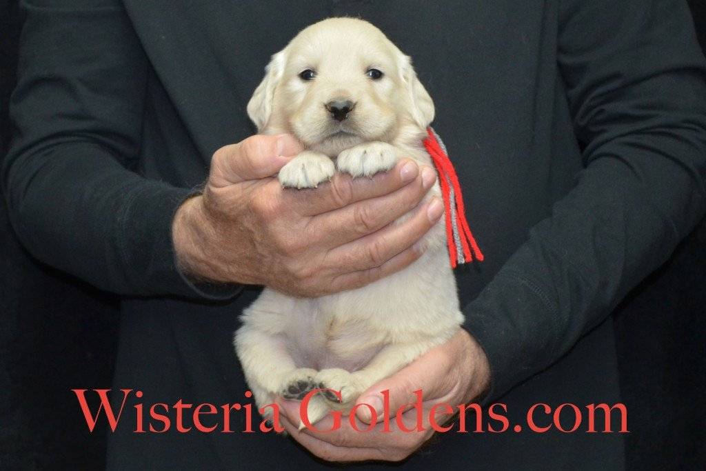Halo Litter Red Boy - 4.4 lbs - 4 Weeks pictures Halo-Ego Litter born 10/26/2015 English Cream Golden Retriever Puppies for sale at WisteriaGoldens.Com