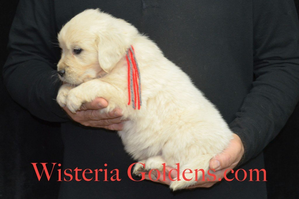 Halo LItter Red Boy - 6.0 lbs 5 Week pictures Halo/Ego Litter born 10/26/2015 3 girls and 8 boys English Cream Golden Retriever Puppies for sale at WisteriaGoldens.Com