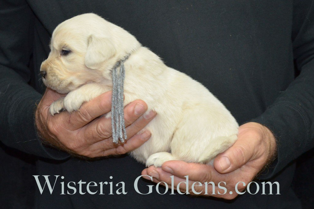 Halo Litter Silver Boy - 3.2 lbs Halo-Ego Litter Born 10/26/2015 3 girls and 8 boys 3 Weeks Pictures WisteriaGoldens.com English Cream Golden Retriever puppies and their availability