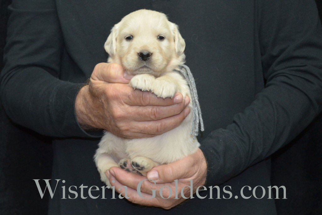 Halo Litter Silver Boy - 4.4 lbs - 4 Weeks pictures Halo-Ego Litter born 10/26/2015 English Cream Golden Retriever Puppies for sale at WisteriaGoldens.Com