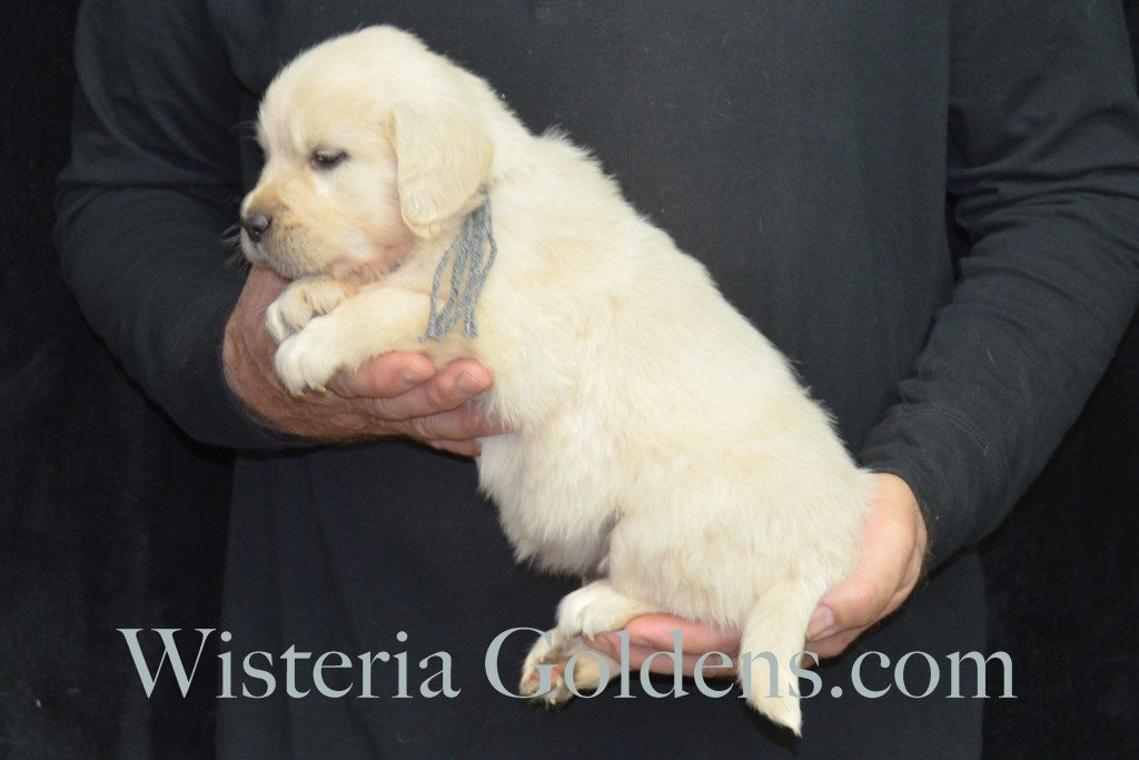 Halo LItter Silver Boy - 6.0 lbs 5 Week pictures Halo/Ego Litter born 10/26/2015 3 girls and 8 boys English Cream Golden Retriever Puppies for sale at WisteriaGoldens.Com