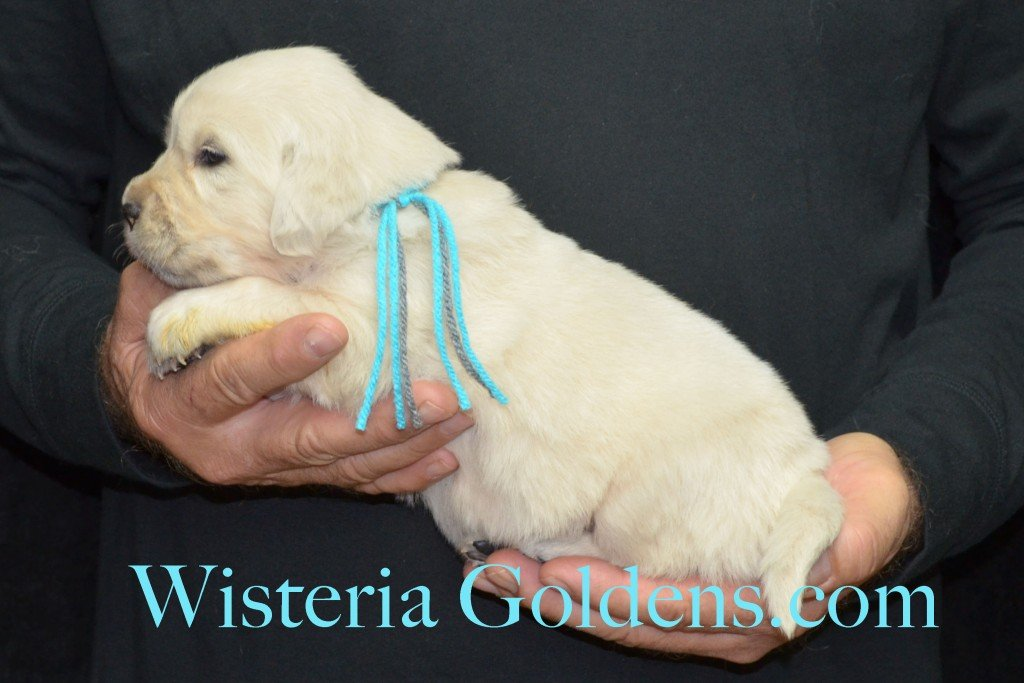 Halo Litter Teal Girl - 3.6 lbs Halo-Ego Litter Born 10/26/2015 3 girls and 8 boys 3 Weeks Pictures WisteriaGoldens.com English Cream Golden Retriever puppies and their availability