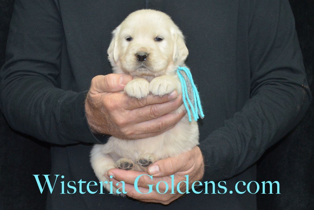 Halo Litter Teal Girl - 5.0 lbs - 4 Weeks pictures Halo-Ego Litter born 10/26/2015 English Cream Golden Retriever Puppies for sale at WisteriaGoldens.Com