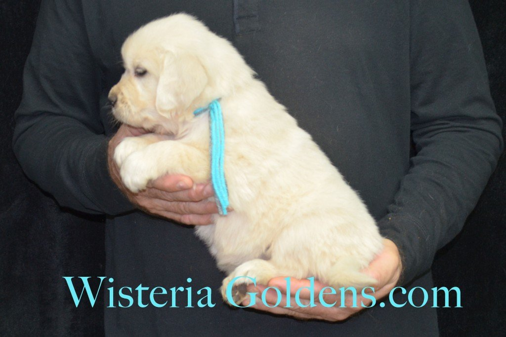 Halo LItter Teal Girl - 6.4 lbs 5 Week pictures Halo/Ego Litter born 10/26/2015 3 girls and 8 boys English Cream Golden Retriever Puppies for sale at WisteriaGoldens.Com