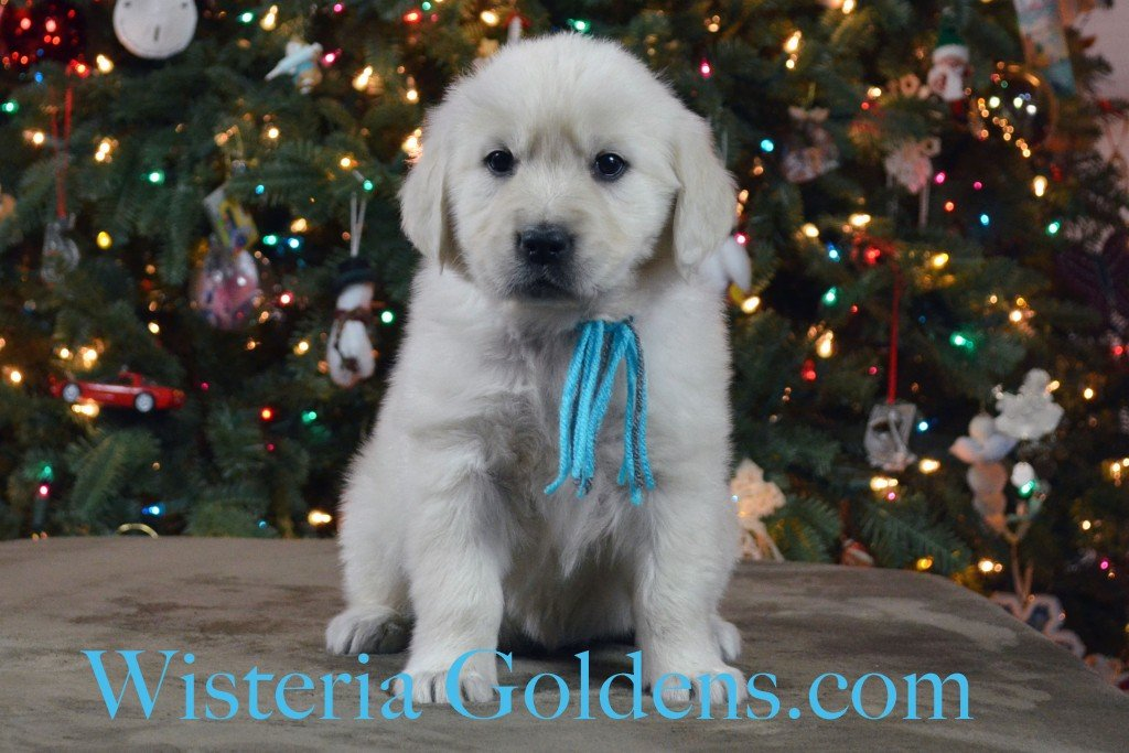 SOLD - Halo Litter Teal Girl is a sweet, cuddly, playful girl affectionate girl. She is the mellowest of the girls. She is doing well in the crate with little to no fuss. She weighs: 7.0 lbs