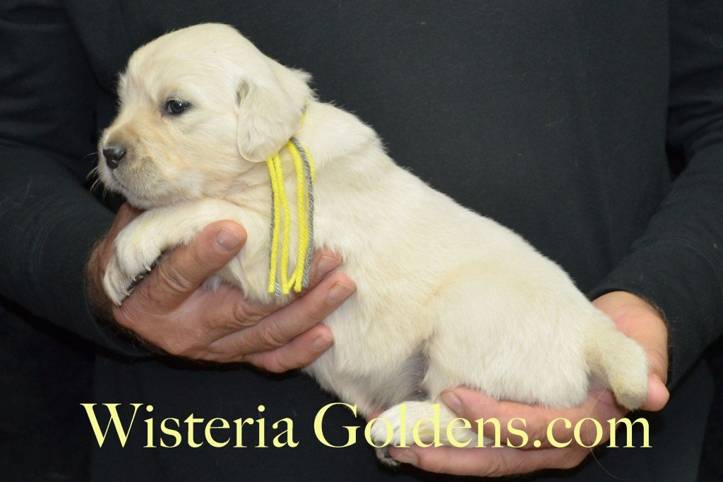 Halo Litter Yellow Boy - 4.4 lbs Halo-Ego Litter Born 10/26/2015 3 girls and 8 boys 3 Weeks Pictures WisteriaGoldens.com English Cream Golden Retriever puppies and their availability