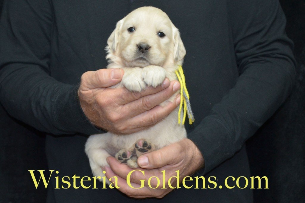 Halo Litter Yellow Boy - 5.0 lbs - 4 Weeks pictures Halo-Ego Litter born 10/26/2015 English Cream Golden Retriever Puppies for sale at WisteriaGoldens.Com