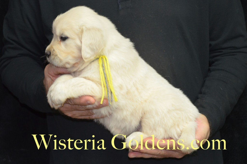 Halo LItter Yellow Boy - 6.8 lbs 5 Week pictures Halo/Ego Litter born 10/26/2015 3 girls and 8 boys English Cream Golden Retriever Puppies for sale at WisteriaGoldens.Com