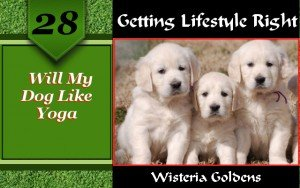 Will My Dog Like Yoga provides a guide about activities to share with your dog. Wisteria English Cream Golden Retrievers