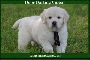Dr Sarah's video about Door Darting is a great resource for training a dog