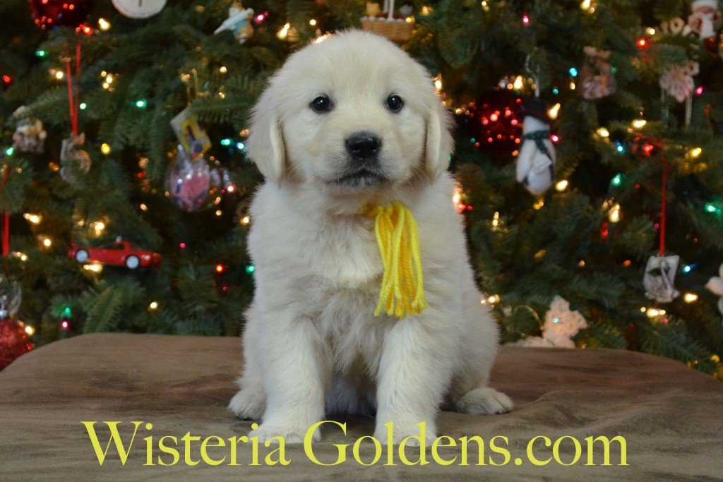 Breeze Litter Yellow Boy Breeze-Ego Litter born 10/29/2015 Yellow Boy is an outgoing, playful, super affectionate, people oriented boy. He is quick to pile in your lap to share kisses. He is curious and pretty confident. He is fussy in the create a bit, but getting better. He weighs 7.0 lbs