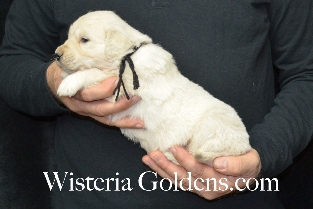 Harmony Litter Four Weeks Pictures Black Boy - 4.2 lbs Harmony and Thor litter born 12-30-2015 8 Boys and 2 Girls. Ready for their new homes on 2/24/2016. English Cream Golden Retriever Puppies for Sale Wisteria Goldens