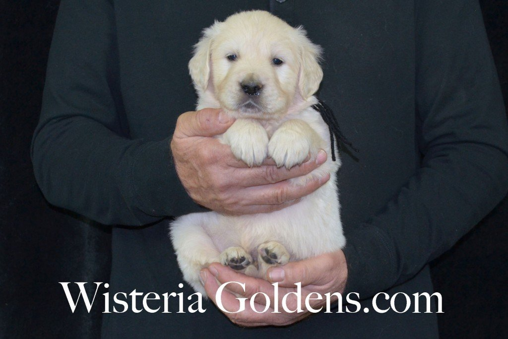 Harmony Litter Black Boy - 6.2 lbs (Harmony/Thor) Born 12/30/2015. 8 Boys and 2 Girls. Ready for their new homes on 2/24/2016. Visit Harmony's Litter page on Wisteria Goldens for more pictures, availability, and contact information. http://wisteriagoldens.com/available-puppies/english-cream-golden-retriever-puppies-for-sale-harmony-litter/ #englishcreamgoldenretriever #puppiesforsale #harmonylitter