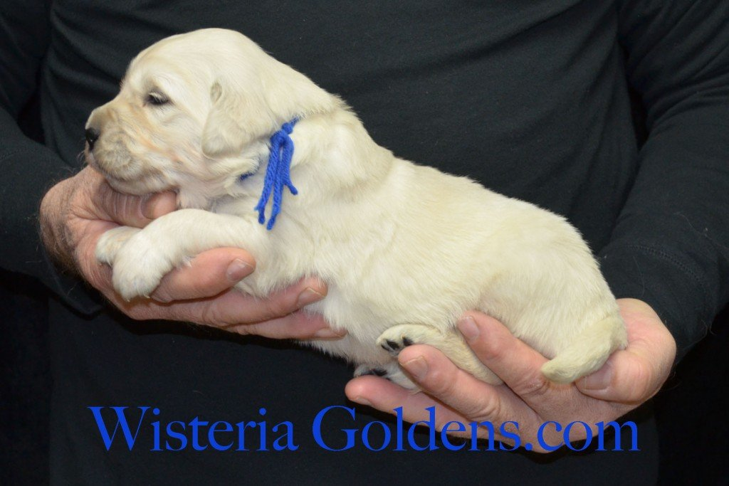 Blue Boy - 4.2 lbs Harmony Litter Harmony-Thor Litter Born 12-30-2015 English Cream Golden Retriever puppies for sale WisteriaGoldens.com