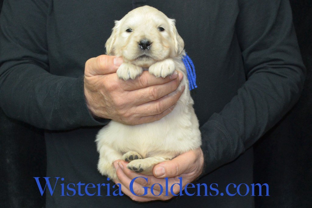 Harmony Litter Four Weeks Pictures Blue Boy - 5.0 lbs Harmony and Thor litter born 12-30-2015 8 Boys and 2 Girls. Ready for their new homes on 2/24/2016. English Cream Golden Retriever Puppies for Sale Wisteria Goldens