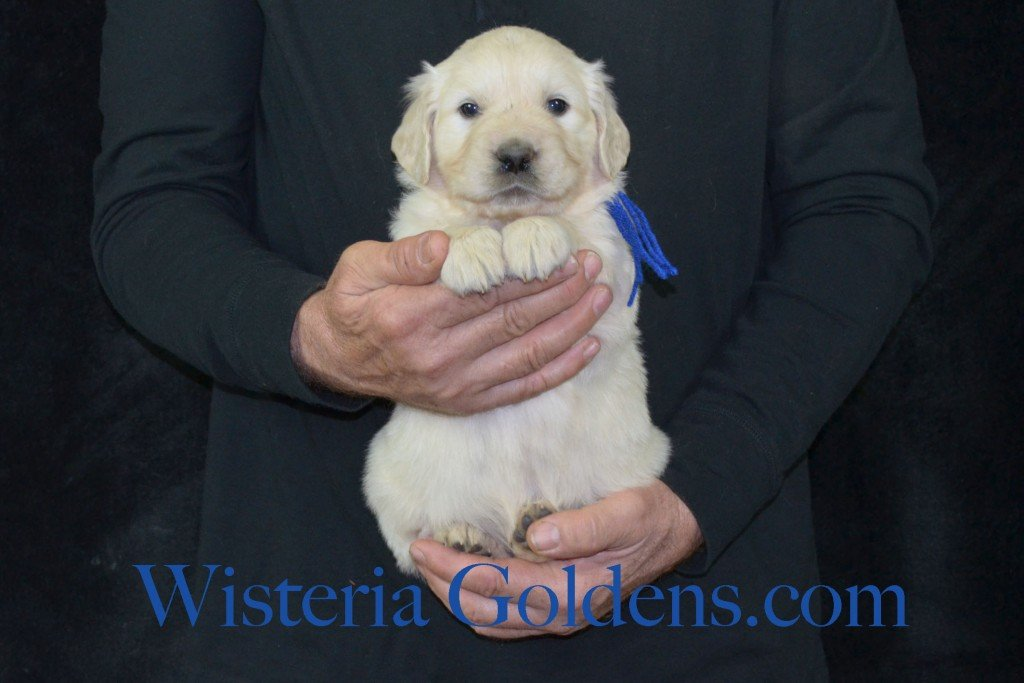 Harmony Litter Blue Boy - 7.0 lbs (Harmony/Thor) Born 12/30/2015. 8 Boys and 2 Girls. Ready for their new homes on 2/24/2016. Visit Harmony's Litter page on Wisteria Goldens for more pictures, availability, and contact information. http://wisteriagoldens.com/available-puppies/english-cream-golden-retriever-puppies-for-sale-harmony-litter/ #englishcreamgoldenretriever #puppiesforsale #harmonylitter