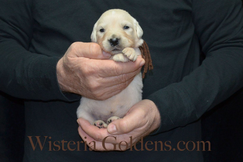Brown Boy - 2.6 lbs Harmony Litter Harmony-Thor Litter Born 12-30-2015 English Cream Golden Retriever puppies for sale WisteriaGoldens.com