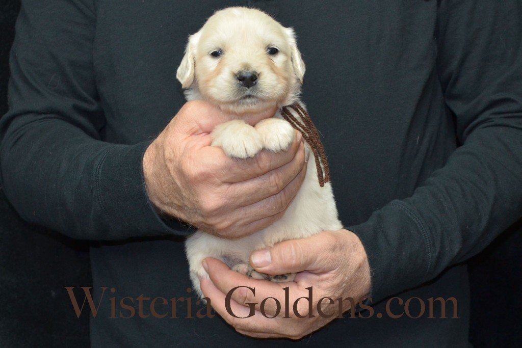 Harmony Litter Four Weeks Pictures Brown Boy - 3.2 lbs Harmony and Thor litter born 12-30-2015 8 Boys and 2 Girls. Ready for their new homes on 2/24/2016. English Cream Golden Retriever Puppies for Sale Wisteria Goldens
