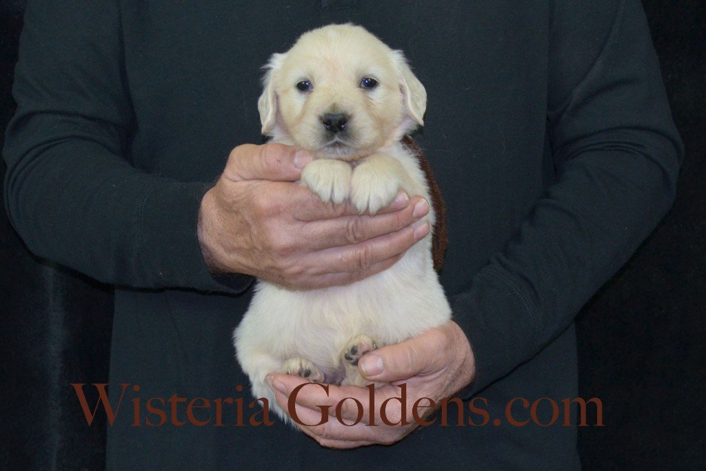 Harmony Litter Brown Boy - 4.8 lbs (Harmony/Thor) Born 12/30/2015. 8 Boys and 2 Girls. Ready for their new homes on 2/24/2016. Visit Harmony's Litter page on Wisteria Goldens for more pictures, availability, and contact information. http://wisteriagoldens.com/available-puppies/english-cream-golden-retriever-puppies-for-sale-harmony-litter/ #englishcreamgoldenretriever #puppiesforsale #harmonylitter