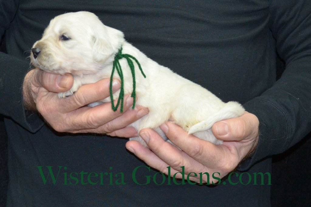 Green Boy - 2.8 lbs Harmony Litter Harmony-Thor Litter Born 12-30-2015 English Cream Golden Retriever puppies for sale WisteriaGoldens.com