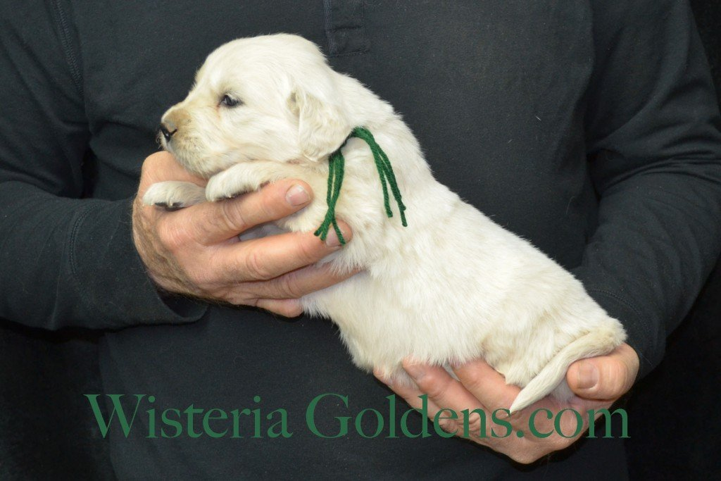 Harmony Litter Four Weeks Pictures Green Boy - 3.8 lbs Harmony and Thor litter born 12-30-2015 8 Boys and 2 Girls. Ready for their new homes on 2/24/2016. English Cream Golden Retriever Puppies for Sale Wisteria Goldens