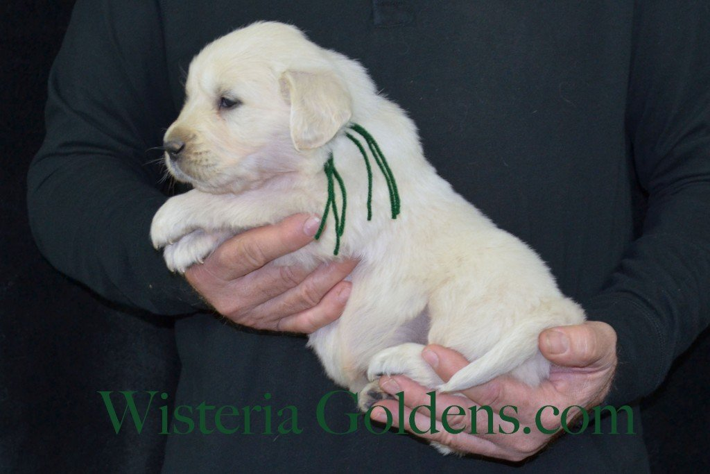 Harmony Litter Green Boy - 6.0 lbs (Harmony/Thor) Born 12/30/2015. 8 Boys and 2 Girls. Ready for their new homes on 2/24/2016. Visit Harmony's Litter page on Wisteria Goldens for more pictures, availability, and contact information. http://wisteriagoldens.com/available-puppies/english-cream-golden-retriever-puppies-for-sale-harmony-litter/ #englishcreamgoldenretriever #puppiesforsale #harmonylitter