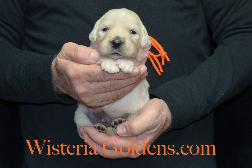 Orange Boy - 2.8 lbs Harmony Litter Harmony-Thor Litter Born 12-30-2015 English Cream Golden Retriever puppies for sale WisteriaGoldens.com
