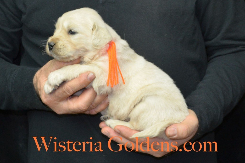 Harmony Litter Four Weeks Pictures Orange Boy - 4.2 lbs Harmony and Thor litter born 12-30-2015 8 Boys and 2 Girls. Ready for their new homes on 2/24/2016. English Cream Golden Retriever Puppies for Sale Wisteria Goldens