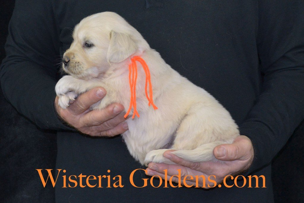 Harmony Litter Orange Boy - 5.8 lbs (Harmony/Thor) Born 12/30/2015. 8 Boys and 2 Girls. Ready for their new homes on 2/24/2016. Visit Harmony's Litter page on Wisteria Goldens for more pictures, availability, and contact information. http://wisteriagoldens.com/available-puppies/english-cream-golden-retriever-puppies-for-sale-harmony-litter/ #englishcreamgoldenretriever #puppiesforsale #harmonylitter