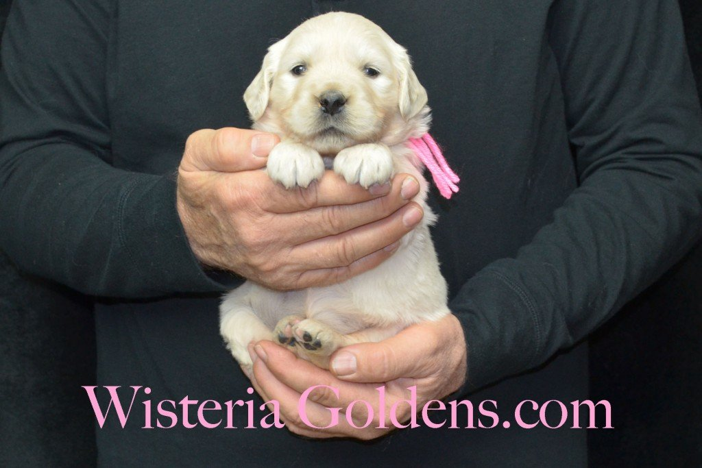 Harmony Litter Four Weeks Pictures Pink Girl - 4.4 lbs Harmony and Thor litter born 12-30-2015 8 Boys and 2 Girls. Ready for their new homes on 2/24/2016. English Cream Golden Retriever Puppies for Sale Wisteria Goldens