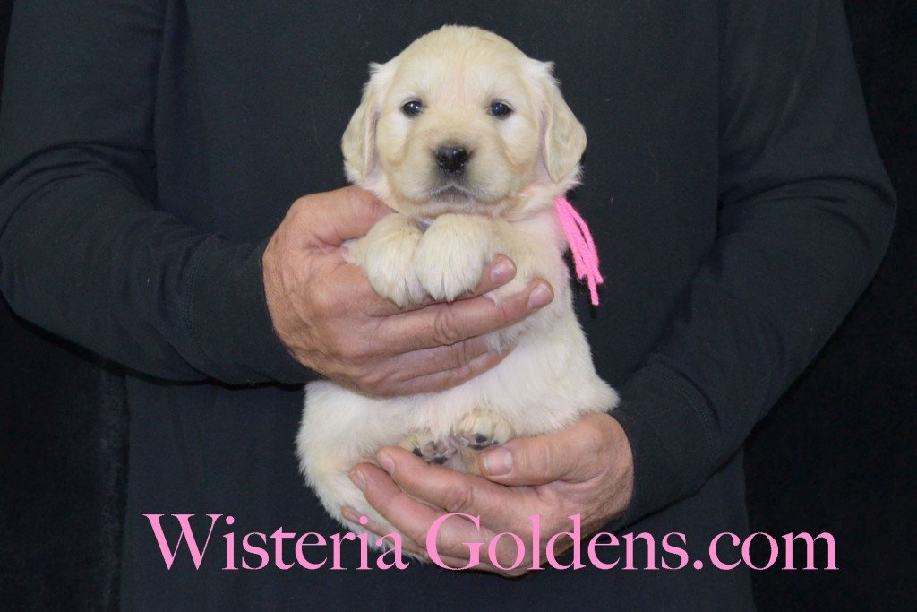 Harmony Litter Pink Girl - 6.2 lbs (Harmony/Thor) Born 12/30/2015. 8 Boys and 2 Girls. Ready for their new homes on 2/24/2016. Visit Harmony's Litter page on Wisteria Goldens for more pictures, availability, and contact information. http://wisteriagoldens.com/available-puppies/english-cream-golden-retriever-puppies-for-sale-harmony-litter/ #englishcreamgoldenretriever #puppiesforsale #harmonylitter