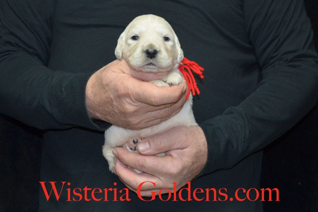 Red Boy - 3.2 lbs Harmony Litter Harmony-Thor Litter Born 12-30-2015 English Cream Golden Retriever puppies for sale WisteriaGoldens.com