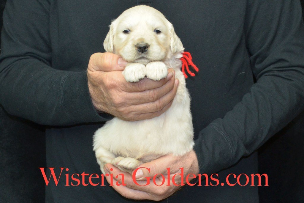 Harmony Litter Four Weeks Pictures Red Boy - 4.6 lbs Harmony and Thor litter born 12-30-2015 8 Boys and 2 Girls. Ready for their new homes on 2/24/2016. English Cream Golden Retriever Puppies for Sale Wisteria Goldens