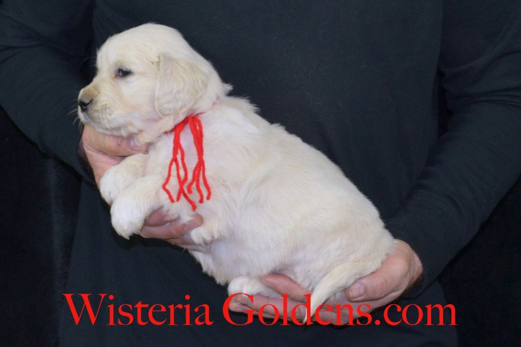 Harmony Litter Red Boy - 6.2 lbs (Harmony/Thor) Born 12/30/2015. 8 Boys and 2 Girls. Ready for their new homes on 2/24/2016. Visit Harmony's Litter page on Wisteria Goldens for more pictures, availability, and contact information. http://wisteriagoldens.com/available-puppies/english-cream-golden-retriever-puppies-for-sale-harmony-litter/ #englishcreamgoldenretriever #puppiesforsale #harmonylitter